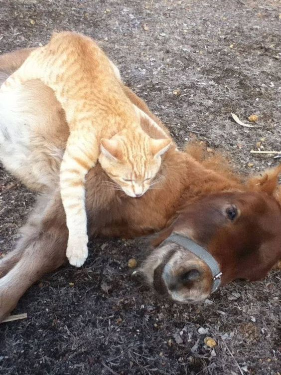 small lion attempting to eat small horse
