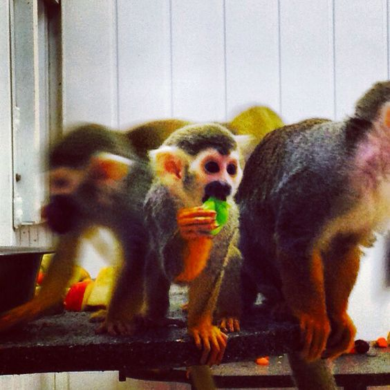 Squirrel monkey baby, 5 months :)