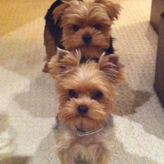 Sweethearts~ .... (PS:  I miss my little Yorkie! May he RIP!... HE was the BEST!)