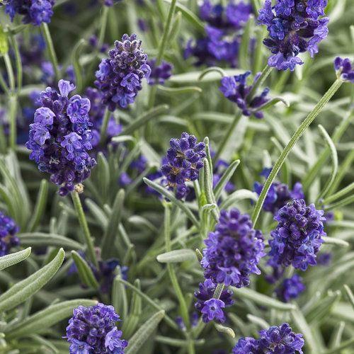Lavender Dog Friendly