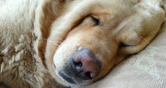 Este cachorro é uma fofura, mas ronca como gente grande