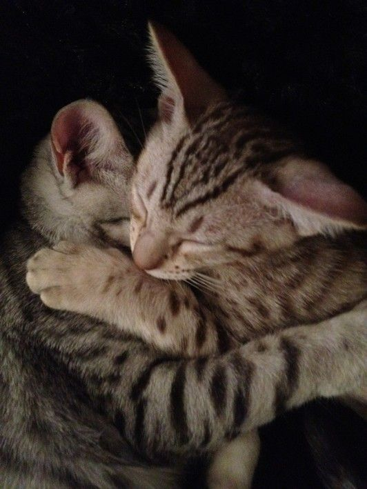 Best Ocicat Kittens Available For Sale California With Images Ocicat Kittens Pets Cats