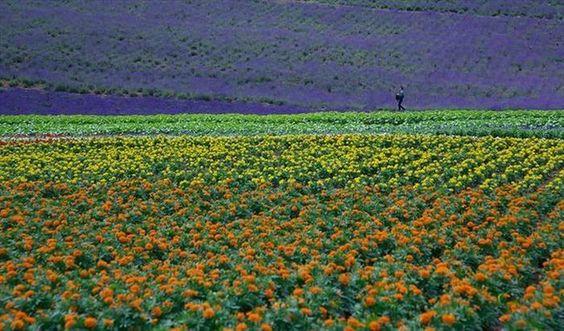Coloridos Campos de Flores               Hokkaido