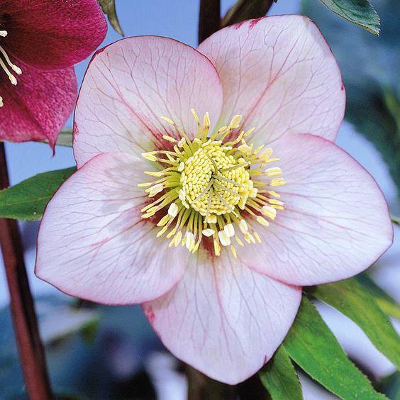 Nieswurz rosa - 1 pflanze günstig online kaufen, bestellen Sie schnell und bequem online