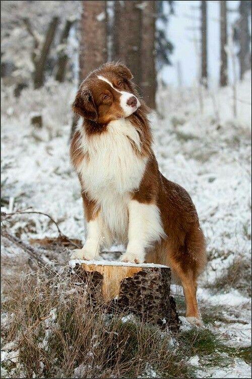 Australian Shepherd Aussie Welpen Aussie Hund Hunderassen
