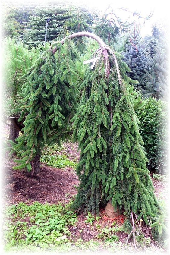 Norway search and google search on pinterest for Weeping evergreen trees for small gardens