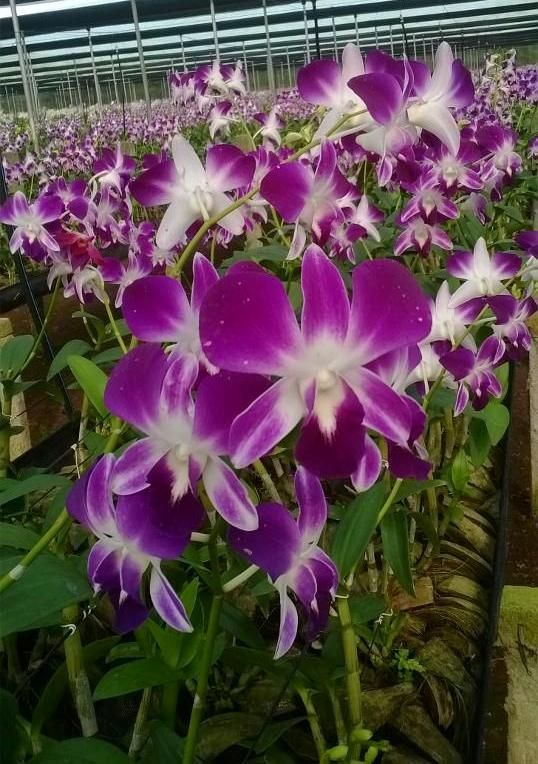 Orchid Flower Farming In India Flower Farm Orchid Flower Orchids