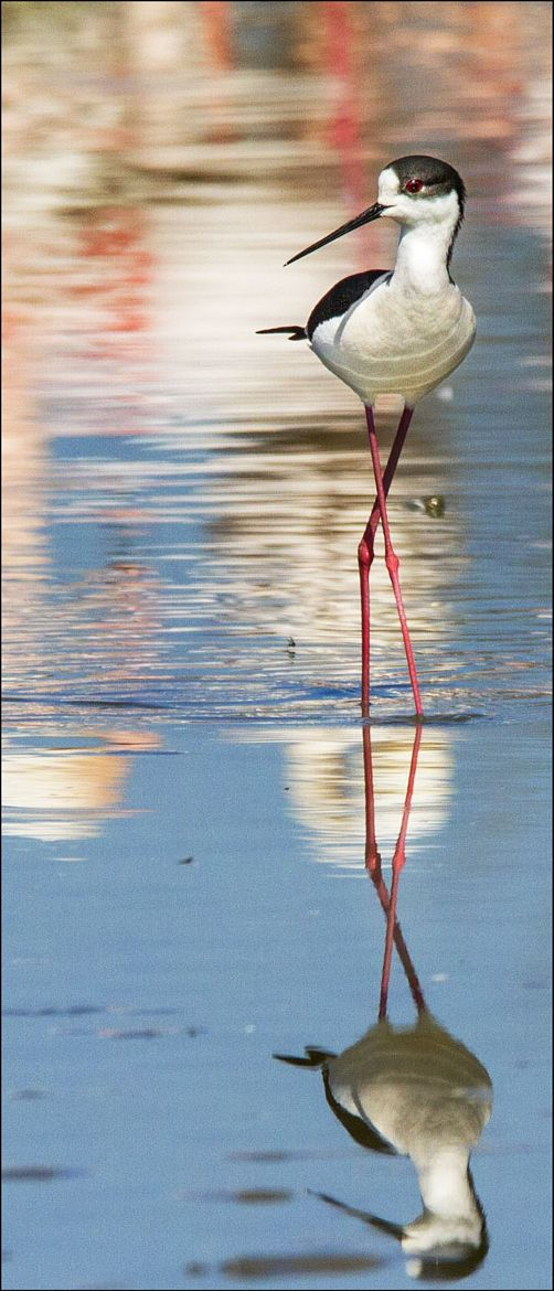 Photograph Black-necked Stilt by James Boardman-Woodend on 500px