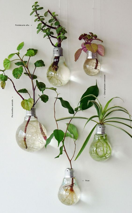 ampoules électriques remplies d'eau avec des plantes dedans qui ont les racines qui poussent