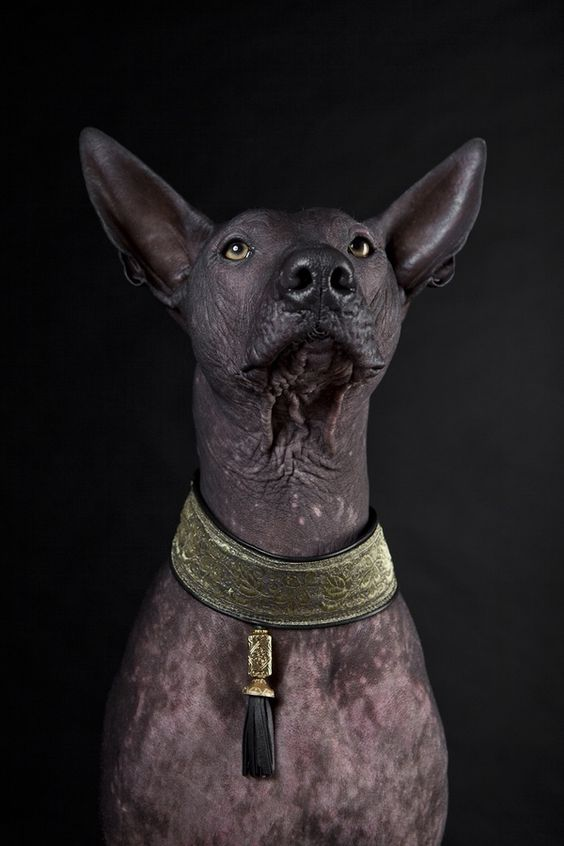 """THE XOLOITZCUINTLI (pronounced show-low-etz-queent-lee), often called the Xolo, is listed 170th in popularity. It is one of the world's oldest and rarest breeds and can justly be called the first dog of the Americas. In ancient times, it was believed that Xolos safeguarded the home from evil spirits and intruders. Today the breed is still considered a """"healer"""" in remote Mexican villages and is used to ward off and cure ailments such as rheumatism, asthma, toothache and insomnia....."""
