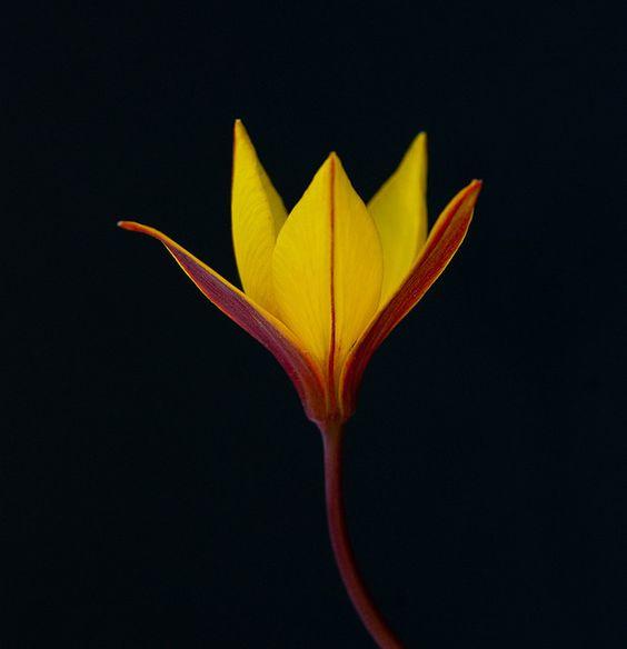 Tulipa silvestris in black