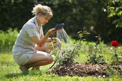 How To Water A Rose Plant: Tips For Watering Roses - A very important aspect to growing happy and healthy disease resistant roses is watering roses well. In this article, we will take a quick look at watering roses, also known as hydrating rose bushes.
