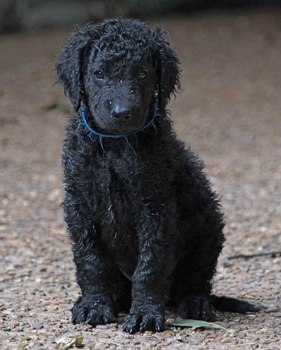 Curly Coated Retriever #Dogs #Puppy