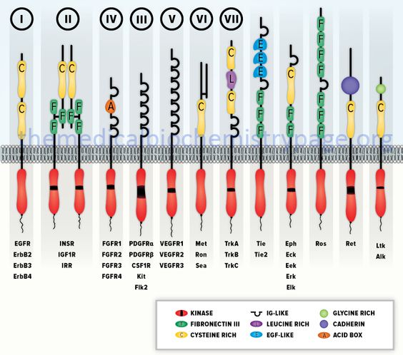schematic representation of various receptor tyrosine kinase (RTK) sub-types