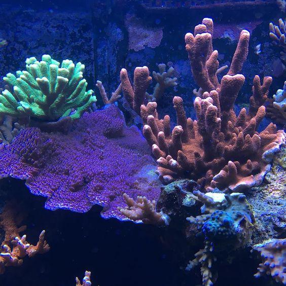 My sps corals #coral #corals #reef #reeftank #reef2reef #reefporn #sps #salt #saltwaterfishtank #photooftheday #photographing #picoftheday #pictureoftheday #hobby #allmymoneygoestocoral #greatbarrierreef  #blijdorp #aquarium #aquariumhobby by stefanvonk1 http://ift.tt/1UokkV2