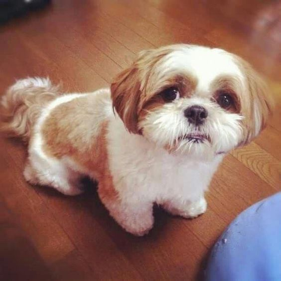 Micro Teacup Shihtzu Puppy For Sale Puppies Shih Tzu Pets For Sale
