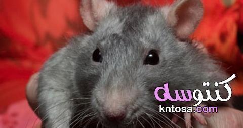 سلسلة غذائية يكون فيها الفأر مستهلك ثانوي Kntosa Com 01 19 156 Animals Hamster