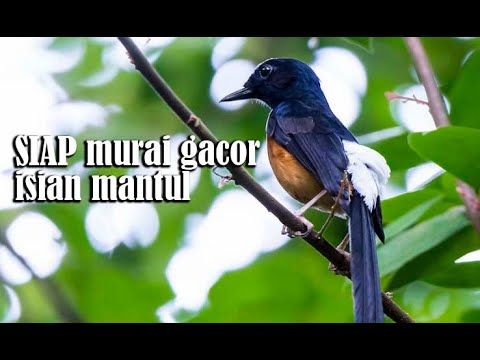 Murai Batu Langsung Pecicilan Mendengar Suara Masteran Ini Di 2020 Suara Murai Burung