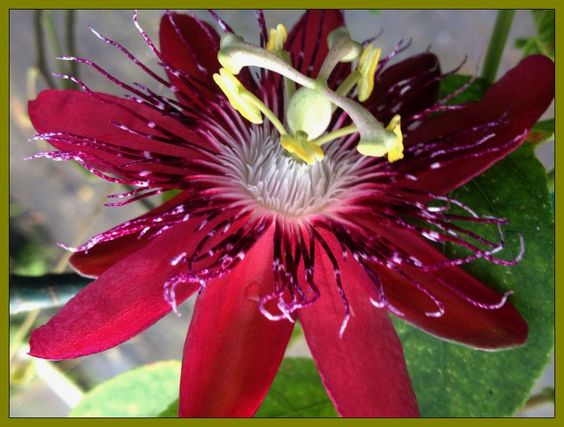 Passion Flower Vine Plant Lady Margaret Burgundy Red Flowering Vines Passion Flower Passion Flower Plant