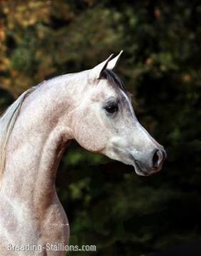 Gorgeous arabian horse