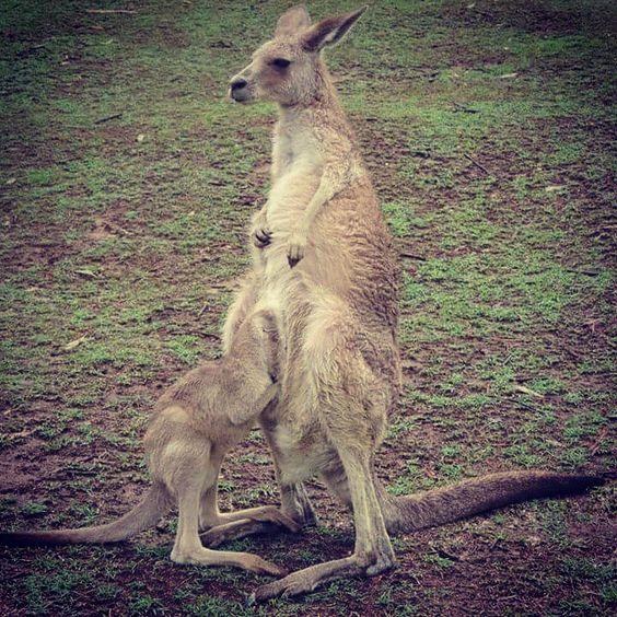 Brisbane Dec 12, 2014 #babykangaroo #kangaroo #brisbane #australia #zoo