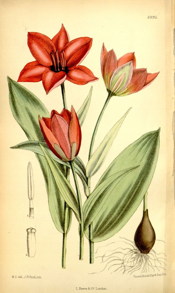 Tulipa ostrowskiana - circa 1886