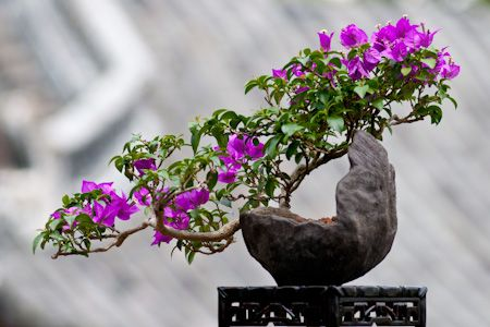 Bougainvillea as bonsai