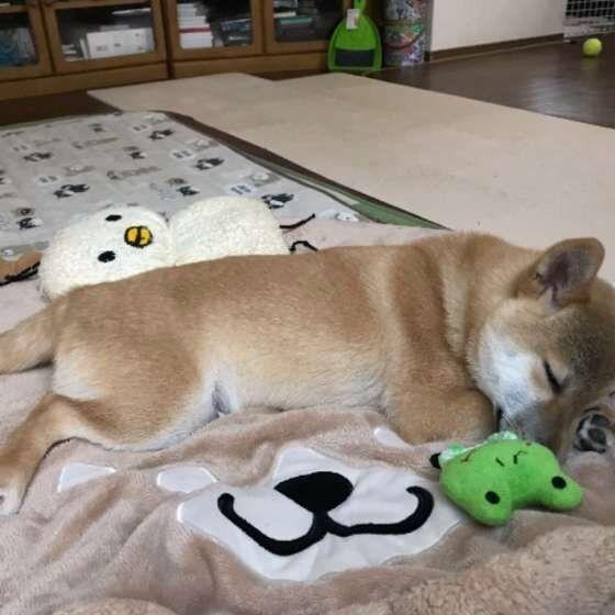犬にフローリングは危険 犬の骨や関節 筋肉に悪影響を与えるng習慣 いぬのきもちweb Magazine 犬 いぬ 子犬