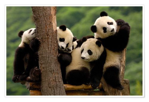 Riesenpandababys In Wolong China Riesenpanda Niedlicher Panda Panda