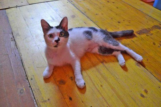 Regalo - adozione gatto bianco e nero