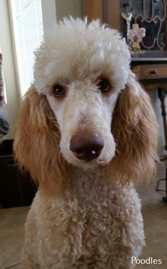 Miniature Poodle Long Hair Poodle Miniature Poodle Standard Poodle