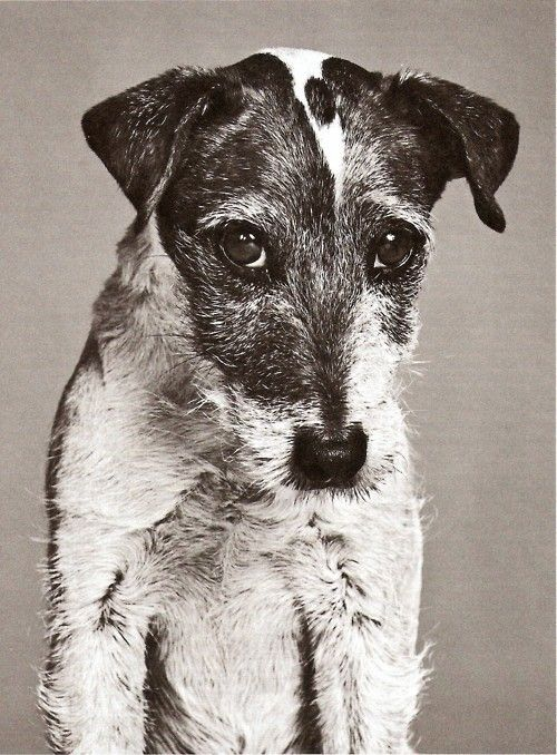 There is nothing in the world quite as wonderful as a Jack Russell. They're passionate (read: stubborn), brilliant (read: mischievous), loyal (read: stubborn) and adorable at every turn.