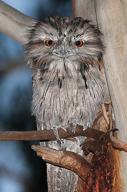 Tawny Frogmouth is a bird found throughout the Australian mainland, Tasmania and southern New Guinea. Frogmouths are not raptorial birds.