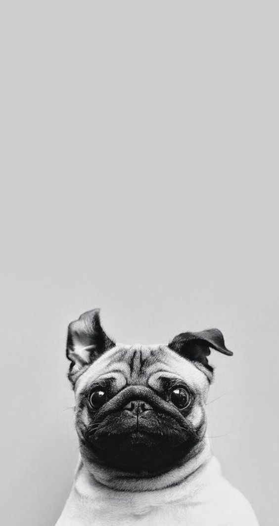 Cute Pug iPhone Wallpaper. Tap to see Collection of Cute ...