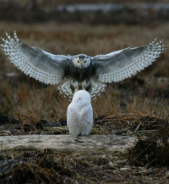 Snowy owls: