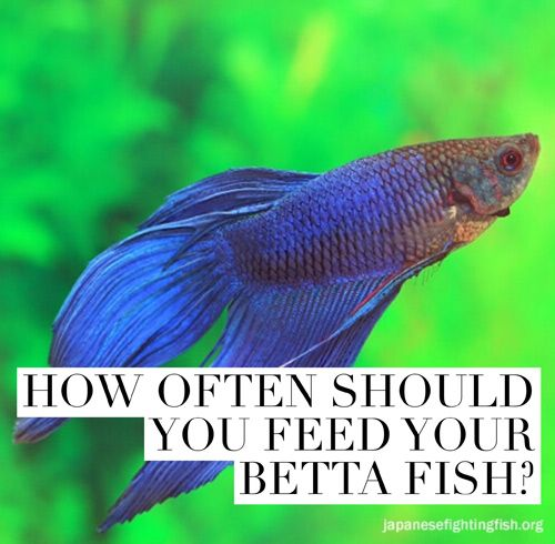 How often should you feed your betta fish a very for Betta fish training