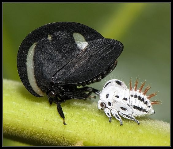 Image result for Treehopper Membracis lunata (Membracidae, Hemiptera)