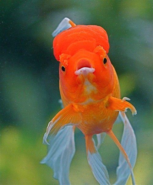 Goldfish In 2020 Goldfish Goldfish Wallpaper Oranda Goldfish