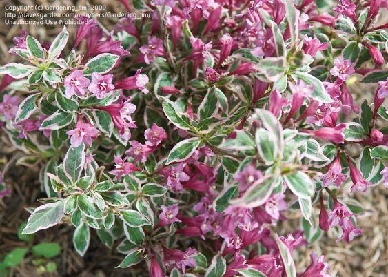 Weigela florida 39 my monet 39 dwarf shrub foliage and for Tall flowering shrubs