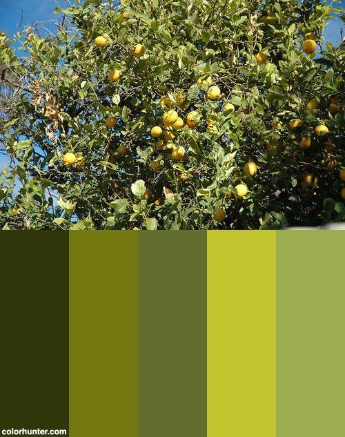 Citrus Limon Lemon Tree Port Pirie Or Port Germein South Australia Color Sc Australia Citrus Color Germ Australia Colours Lemon Tree South Australia