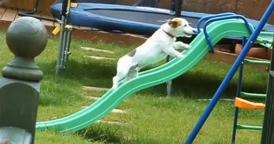 Vídeo de cão tentando subir em escorregador faz sucesso na web