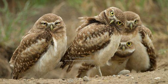 Any Questions? - A few burrowing owl chicks near their burrow.