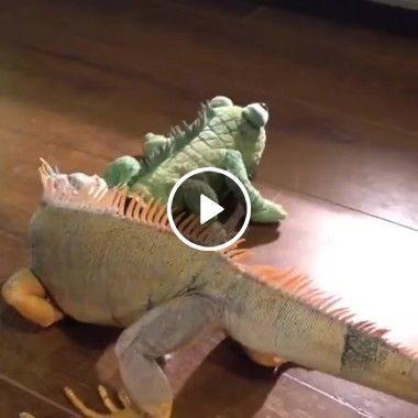 O lagarto vira brinquedo de estimação