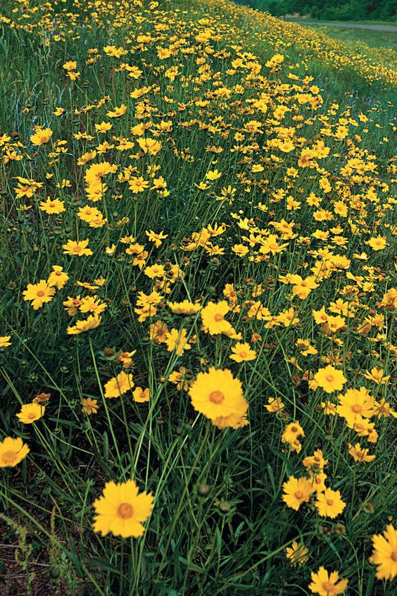 Threadleaf Coreopsis 10 Plants That Beat The Summer Heat