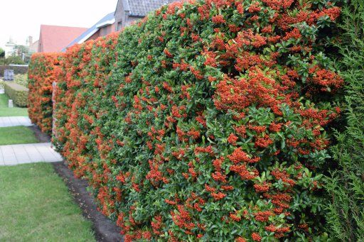 10 Fast Growing Hedges For Privacy Gardeners Guide Privacy