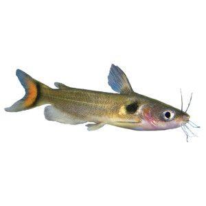 Live fish catfish and fish on pinterest for Petsmart fish guarantee