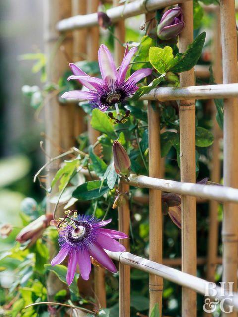 15 Container Garden Plants That Will Thrive In Summer Heat Heat Tolerant Plants Flowering Vines Climbing Flowers