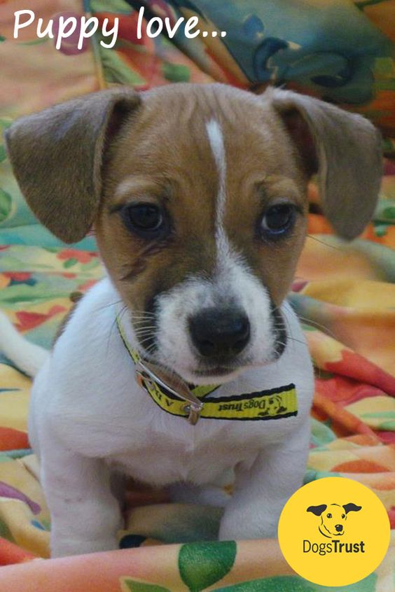 This Terrier Cross puppy, Prue at Dogs Trust Ballymena is