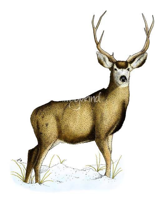 Mule Deer By Inkart Adver Ad Sponsored Inkart Deer Mule In 2020 Deer Drawing Hipster Illustration Mule Deer
