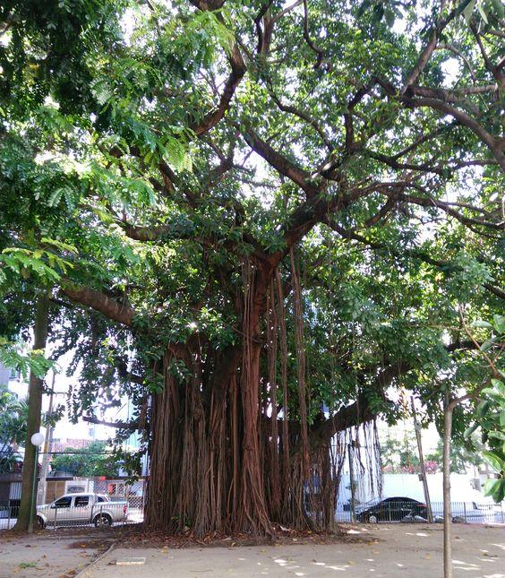 Árvore numa praça de Recife